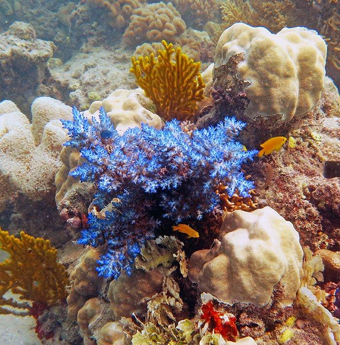 Acropora echinata at Big Vicky's Reef. © Daniela Ceccarelli