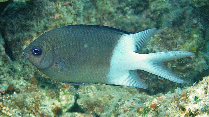 This fish is an athlete. Spiny Puller Acanthochromis polyacanthus. Photo credit: Lizard Island Field Guide