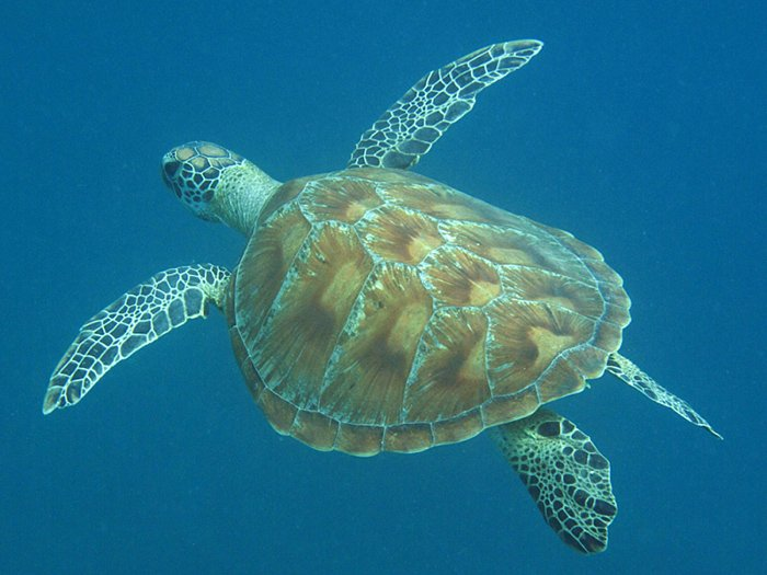 Green Turtle Celonia mydas at Lizard Island © Andy Lewis