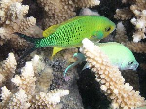 Lauren's focal species, Chromis virids. Photo: Andy Lewis.