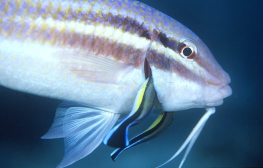 A Striped Cleaner Wrasse cleaning the gills of a Black-spot Goatfish (view fact sheet) at a depth of 21m, North West Solitary Island, New South Wales, June 2002.