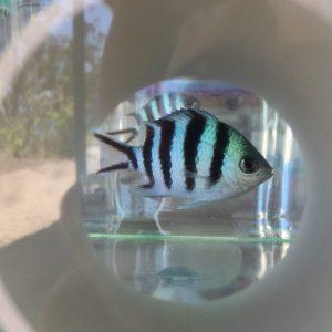Fish feeding on larvae COTS