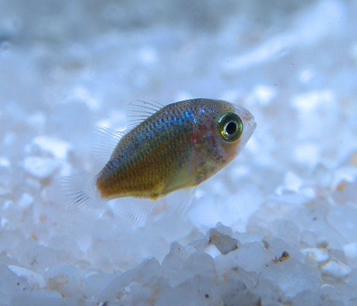 Baby fish - the vital larval phase | Lizard Island Reef ...