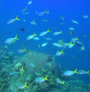 School of Yellowtail Fusilier (Caesio cuning) at Lizard Island © Andy Lewis