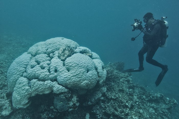 Even the massive ancient Porites corals are bleaching