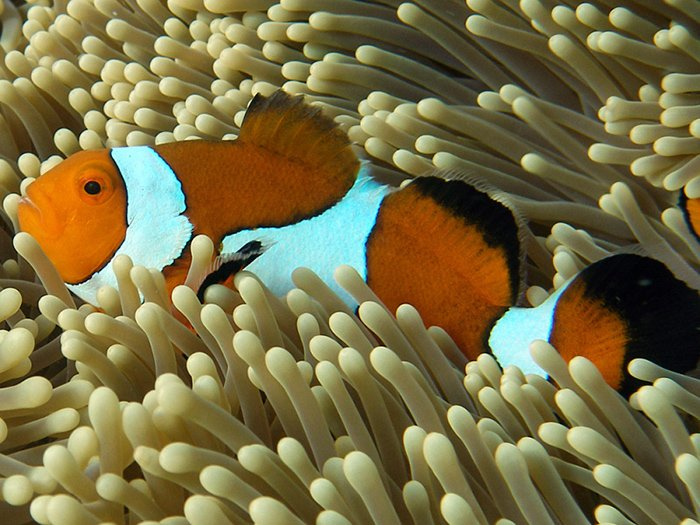 Nemo is an Eastern Clown Anemonefish (Amphiprion percula). Here he is in a normal healthy habitat. © Andy Lewis