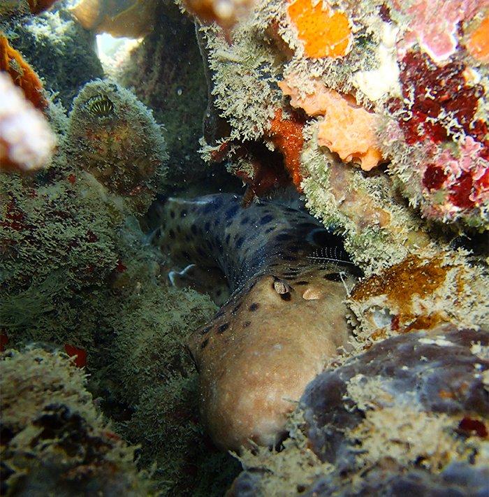 Epaulette shark in reef camouflage © C Gervais