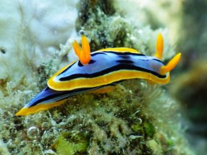 Visual nudibranch signals