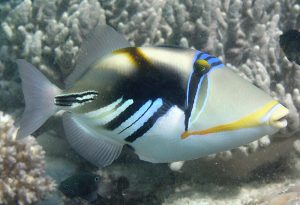 An adult PicassoTriggerfish - © Andy Lewis