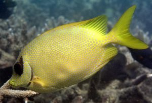 Coral Rabbitfish © Andy Lewis