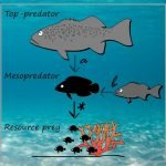 Top predators help juvenile fish