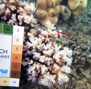 Coral growth after bleaching