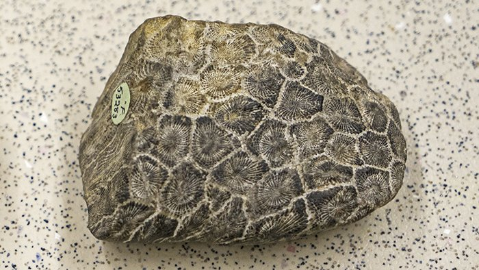 Middle Devonian coral fossil Xystriphyllum - Australian Museum