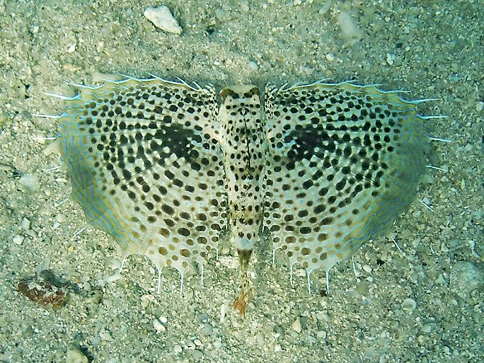 Citizen Science and the Purple Flying Gurnard
