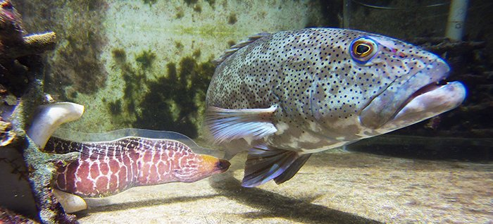 Coral trout  Plectropomus leopardus with a life-like image of a moray eel © Alex Vail