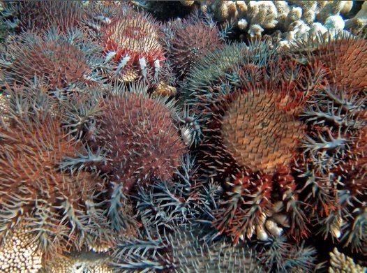 Crown-of-Thorns Starfish & eDNA