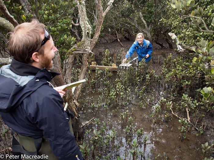 Blue carbon science - in mangroves. © Peter Macreadie