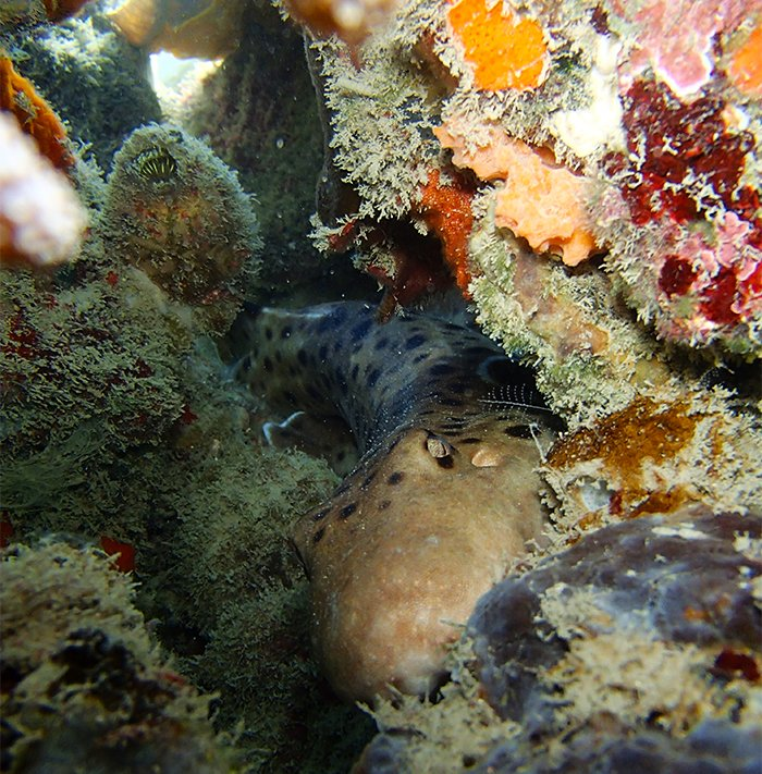 Epaulette shark in reef camouflage © C Gervais