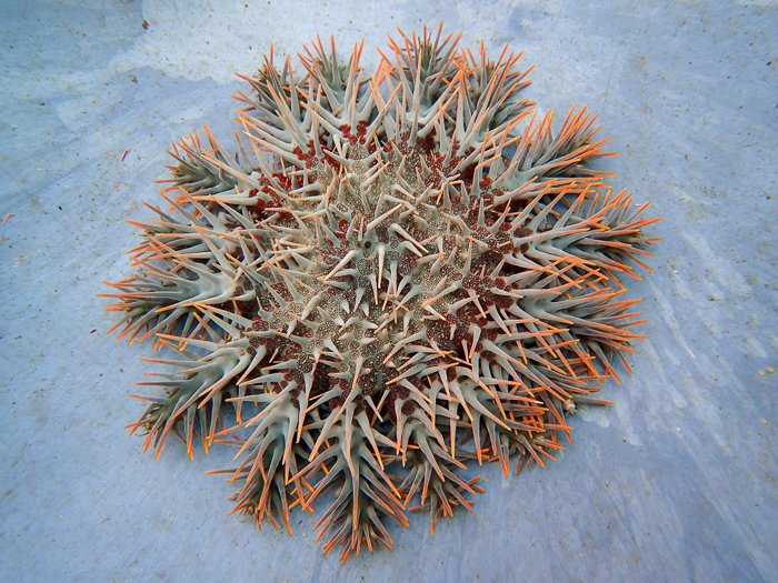 Horror, wonder and science of Crown-of-Thorns Starfish