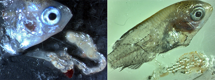 Reef fish recruitment and microplastics