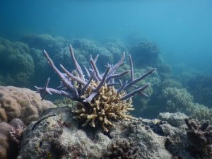 Recovering staghorn coral