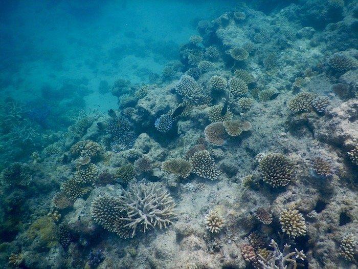 Widespread young Acropora corals, credit: Maria Dornelas