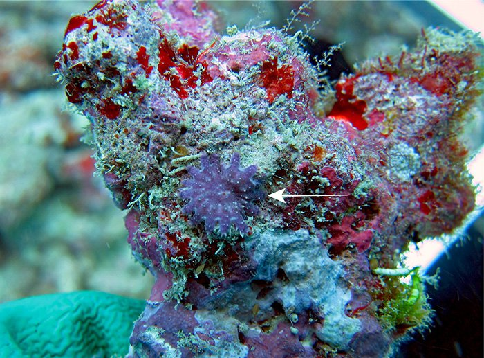 Finding baby Crown-of-Thorns Starfish