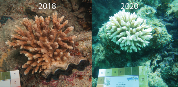 Recovery of Coral Growth Rates after Severe Bleaching